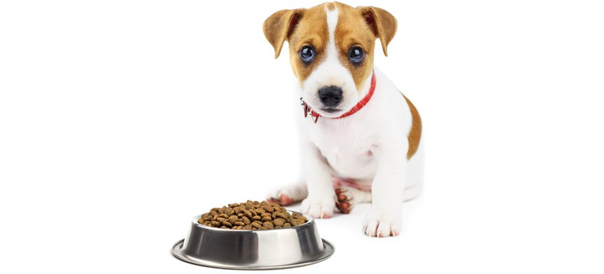 jack russell puppy feeding guide