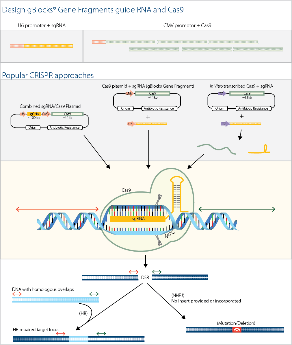 cas9 guide rna directed genome editing in soybean