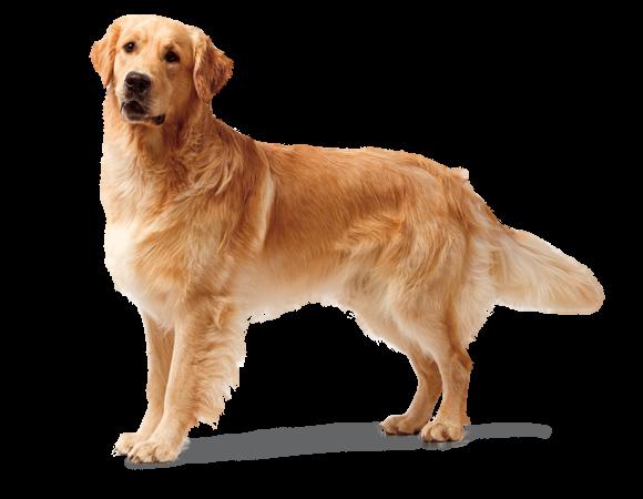 royal canin golden retriever puppy feeding guide
