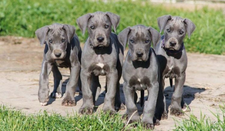 guide to owning a great dane
